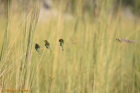 Little Bee-eater - the smallest among bee-eaters.